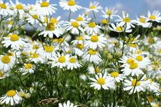 11 Medicinal Herbs for Natural Pain Relief Healing Herbs, Medicinal Plants, Natural Healing, Natural Medicine, Herbal Medicine, Chamomile Growing, How To Relieve Migraines, Types Of Herbs, Chamomile Essential Oil