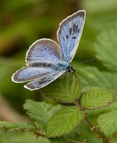 Large Blue (Glaucopsyche arion)