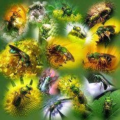 Pollinators: My Metallic Green Bees