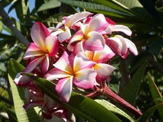 Plumeria Care, Exotic, Pua, Plants, Plant, Planets