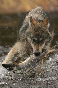 Good catch there wolf( A+for the photographer that took it)