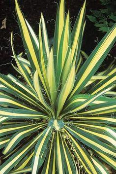 Yucca filamentosa 'Color Guard' (Variegated Yucca)
