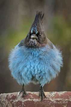Bad Feather day? Front view of a blue Jay fluffing his feathers Taken in Yosemite National Park, CA. Credit: Alice Cahill