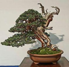 Premio Noelanders Trophy al Mejor del Show: Juniperus Sabina. Árbol de Xavier Massanet.