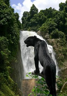 Black jaguar Behind the  Waterfall in Eco-Park in Chiapas, Mexico. By Colin Dunjohn.