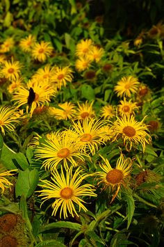 Golden Asteraceae