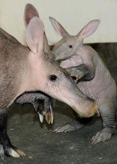 Aardvark mother & baby