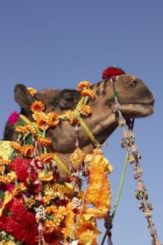 Head Of A Brightly Decorated Camel, Nagaur Cattle Fair, Rajasthan,.. Royalty Free Stock Photo, Pictures, Images And Stock Photography. Image 4273033.