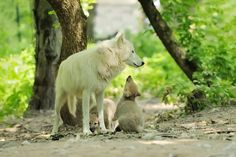 Wolf Awareness Week: Family of Arctic wolves Wolf Life, Arctic Wolf, Wolf Pup, Howl At The Moon, White Wolf, Predator, Cubs, Kangaroo, Baby Animals