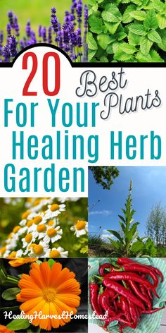 Having an herb garden filled with medicinal plants is a way to grow your own healing garden where you can pick your own herbal and natural remedies. Here are the top 20 best herbs to grow for beginners and how to grow and use them! Tons of remedies listed under each herb, so you can start growing your herb garden for health today. #herbgarden #growing #beginners #medicinal #healing #health #healingharvesthomestead Best Herbs To Grow, Growing Herbs, Herbal Remedies, Health Remedies, Holistic Remedies, Herbs Indoors, Edible Garden, Health Matters, Medicinal Plants