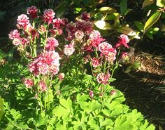 Aquilegia 'Winky Double Red-White'