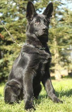 German Shepherd Videos, German Sheperd Dogs, German Shepherd Training, Black Shepherd, Black German Shepherd Dog, Gsd Puppies, Shepherd Puppies, Gsd Dog, Working Dogs