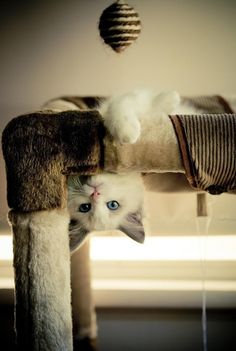 """How does kitty do this? * * """" DAS FUR ME TO KNOW AND YOU TO FIND OUT. OF COURSE, YOU NEVER WILL. MEOW-HA ! """""""