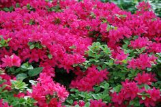 """""""How To Grow Azaleas"""" by @Southern Living Zone 6 folks, take note!  They are easy to keep in the right spot. http://www.enjoyindoorgardening.blogspot.com/"""