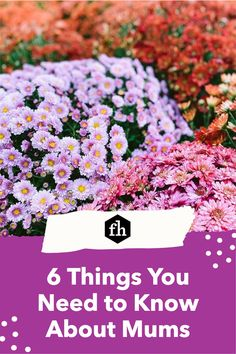 6 Things You Need to Know About Mums