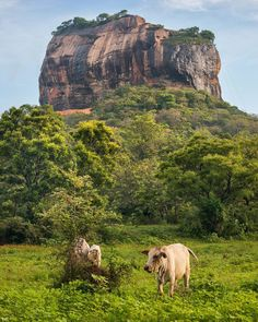"""""""Whatever words we utter should be chosen with care for people will hear them and be influenced by them for good or ill."""" - Buddha  _  Cow in front of Sri Lanka's famed Sigiriya Rock.  _  This ancient rock column towering 200m (660ft) was originally designed to be the palace and capital of the devious King Kasyapa (477  495 CE). After his death it was abandoned and then used as Buddhist monastery until the 14th century.  _  Today it is a UNESCO listed World Heritage Site and the most visited…"""