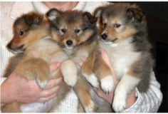 Shetland sheepdog puppies. Soo cute. 3 little balls of fur.