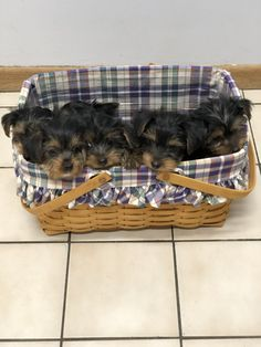 A basket of Yorkie puppies