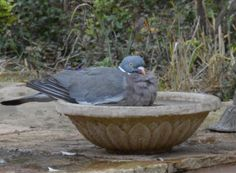 Not quite what I had in mind when I bought this bird bath. Happy Pigeon.