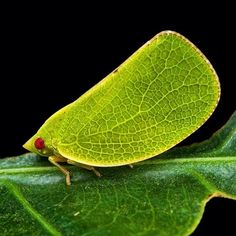 A leafhopper blends into its environment by mimicking the veins of leaves on its wings