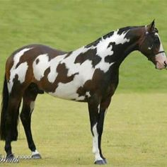 "Can you see the word ""horse"" in the spots on this beautiful Paint horse? AMAZING!!!!!"