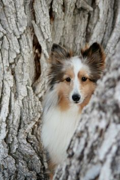 Looks like a Sable and Merle Sheltie.