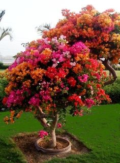 Bougainvillea tree. Amazing! I wonder if they have a cold weather cousin...? Beautiful Gardens, Beautiful Flowers, Beautiful Gorgeous, Bougainvillea Tree, Flowering Trees, Potted Trees, Potted Plants, Trees To Plant, Bonsai Trees