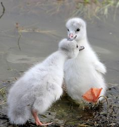 Whooping Crane Chicks - photo by birds of a feather.aren't these chicks adorable? So furry and white.