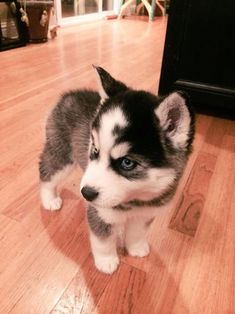 angry little huskey is on the floor http://ift.tt/2fyruwS