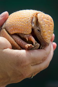 It's A Baby Armadillo That's The Size Of A Tennis Ball...wow...would have been pretty sweet if i got see the armadillo!!!! lol