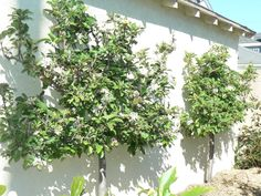 Edible Landscaping: Espaliered Semi Dwarf Apples Trees up against the garage at Hanburyhouse.com