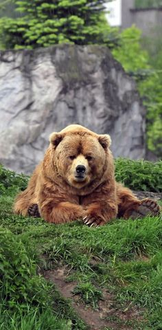 Brown Bear ~ lying on the grass