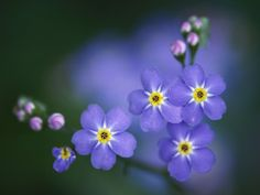 image of forget me not flower | 212: Forget Me Not Flower For Desktop Wallpapers