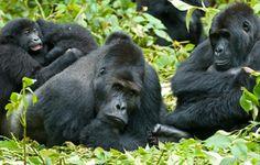 Mahogony-Springs-Gorillas