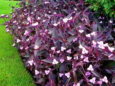 Purple Heart is a creeping perennial that grows about 12 inches tall and 24 inches wide. Spear-shaped leaves range from reddish-purple to nearly black. Light pink, three-petaled flowers appear in summer. It's winter-hardy in USDA Zones 7-11.