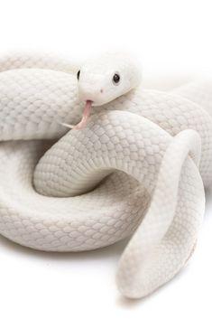 teleos:  Auryn by Julian Rossi  Via Flickr:  Leucistic Texas rat snake.