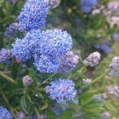 Amerikaanse sering (Ceanothus thyrsiflorus 'Repens')-directplant Shrubs, Flowers, Shrub