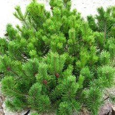 Le Pin nain Pumilio : un conifère pour les petits jardins Très répandu dans les Alpes, le Pin mugo pumilio peut être cultivé dans tous les jardins quel que soit la nature du sol. Il est très utile en montagne pour limiter l'érosion des sols et retenir les avalanches. Il pourra donc facilement être implanté surun talus par exemple. Sa petite taille permet de pouvoir le planter même dans les plus petits des jardins. Le Pin mugo convient également très bien à la confection de bonsais, en…