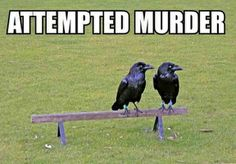 "A group of crows is called a ""murder"", so if you have less than three crows, you don't exactly have a murder. You have an attempted murder!  Also, those aren't crows in the photo, they are common ravens. Ravens are also in the Corvidae family, but a group of them is not called a murder. It is called a conspiracy."