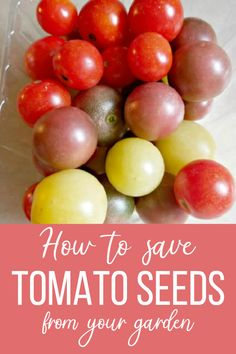 Saving seeds from your own garden plants, and then planting them for several years will yield seeds that are perfectly adapted to your soil and climate. Here's how to save tomato seeds from your garden. Growing Tomatoes, Growing Herbs, Herb Garden In Kitchen, Vegetable Garden Planning, Starting Seeds Indoors, Homestead Gardens, Tomato Seeds, Garden Pests, Seed Starting