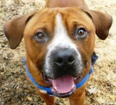 Hi, I'm Buddy and I'm easy to love. I have a lot of personality!  I also have a neurological condition and get my feet tangled occasionally, but I don't really mind - I still like to take short walks and I snort like a bulldog!  I get really upset around other dogs here at the shelter, so I am hanging out in a deluxe kennel outside. Ask staff to give you some toys when you come out to meet me, I love them! I know there's someone out there for me who won't mind when I tumble over- is it you?