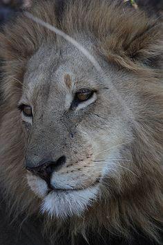 King of the Okavango Delta, Botswana  Alex Gissel