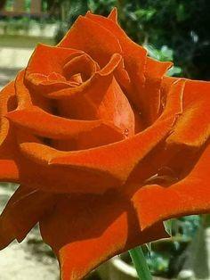 Rosa roja - My site Beautiful Rose Flowers, Amazing Flowers, Ronsard Rose, Rose Images, Rainbow Roses, Hybrid Tea Roses, Lavender Roses, Orange Flowers, Flower Wallpaper