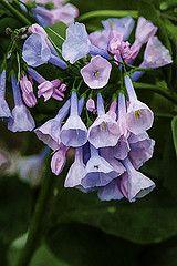 Virignia Blue Bells in springtime.