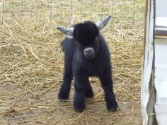 Baby Nigerian Dwarf Goat Oh and we had one that looked JUST like this!!! :( so sad when you have to sell or they grow up...