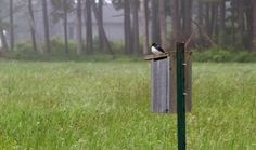 Bluebird at Gilsland Farm Audubon Center