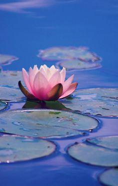 Waterlily #flowershop
