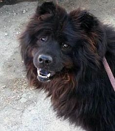 Ventura, CA - Chow Chow. Meet King Oso, a dog for adoption. http://www.adoptapet.com/pet/13608605-ventura-california-chow-chow