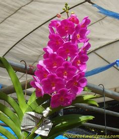Pink Ascocentrum Orchid Flower Picture