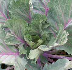 Collard, 'Ole Timey Blue-plant it in the fall, as its flavor sweetens up after a frost. Attractive plants grow to 2' tall; broad, blue-green leaves with undulating leaf margins and purple stems and veins; very good eating qualities.
